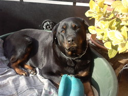 Tara, chien Rottweiler