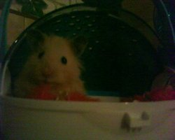 Nana, rongeur Hamster