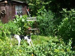 Newton, chien Parson Russell Terrier