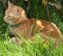 Themis, chat Gouttière