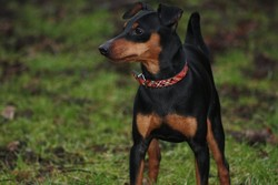 Fearless Knight Devon D'obreika, chien Pinscher