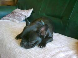 Vizaya, chien Bouledogue français