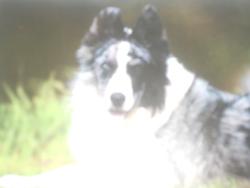 Altair, chien Border Collie