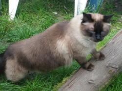 Park, chat Siamois