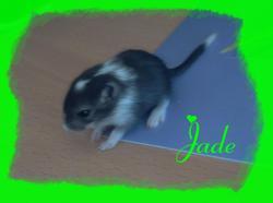 Jade, rongeur Gerbille