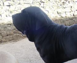 Manolito, chien Fila brasileiro