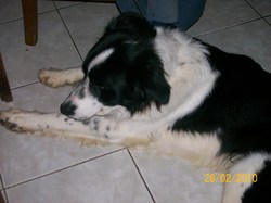 Enddy, chien Border Collie