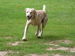 Ayron, chien Labrador Retriever