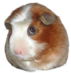 Cashemire, rongeur Cochon d'Inde