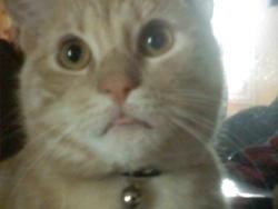 Fénix, chat Gouttière