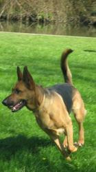 Dianne, chien Berger allemand
