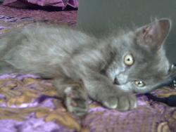 Célia, chat Persan