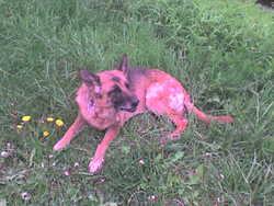 Ondine, chien Berger allemand