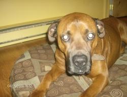 Juno, chien Labrador Retriever