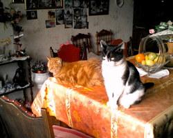 Mickey Et Moustic, chat Européen