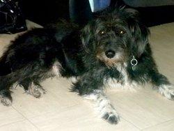 Rocky, chien Griffon belge