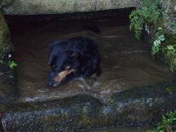 Dolmen, chien Beauceron