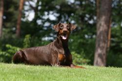 Farah, chien Dobermann
