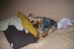 Tapioca, chien Yorkshire Terrier