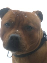 Flako, chien Staffordshire Bull Terrier