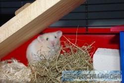 Pouik, rongeur Hamster