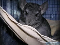 Orphée, rongeur Chinchilla