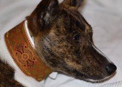 Sumo, chien Basenji