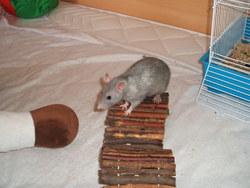 Méthylen, rongeur Rat