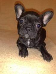 Eliot, chien Bouledogue français