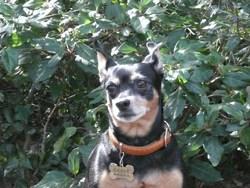Sakye, chien Pinscher