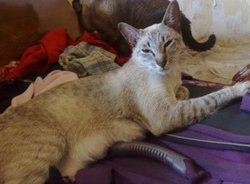 Caline, chat Siamois