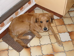 Vasko, chien
