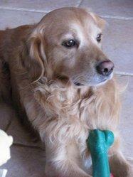 Farouk, chien Golden Retriever