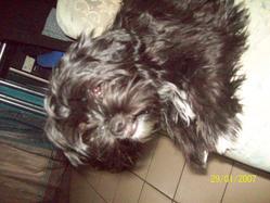 Khyra, chien Shih Tzu