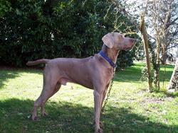 Ubix, chien Braque de Weimar