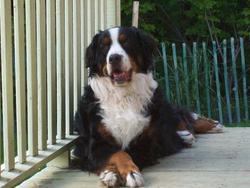 Balou, chien Bouvier bernois