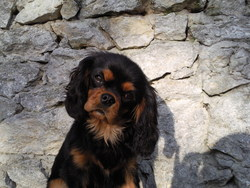 French Kiss, chien Cavalier King Charles Spaniel