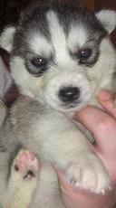 Eden, chien Husky sibérien