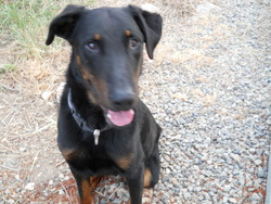 Clyde, chien Beauceron