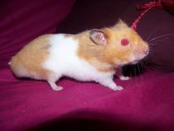 Hamidou, rongeur Hamster