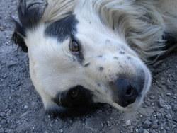 Kapi, chien Setter anglais