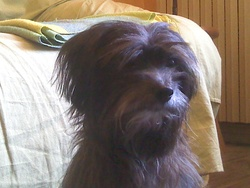 Balkan, chien Bichon maltais