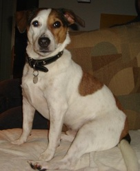 Toffy, chien Jack Russell Terrier