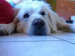 Arco, chien Berger polonais de Podhale