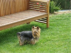 Roxane, chien Yorkshire Terrier
