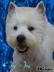 C'jay- Jay, chien West Highland White Terrier