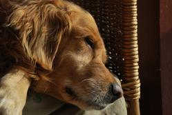 Téquila, chien Golden Retriever