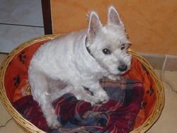 Nala, chien West Highland White Terrier