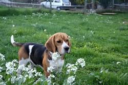 Diva, chien Beagle