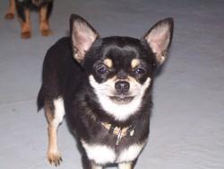 Focette, chien Chihuahua